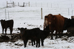 Free Picture of Calves and Cow, Bishop Creek, Ruch, Oregon