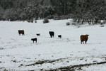 Free Picture of Cattle in a Wintry Landscape