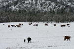 Free Picture of Cattle in Snow, Bishop Creek, Ruch, Oregon