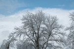 Free Picture of Snow Covered Tree in Winter