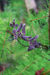 Free Picture of Baby Pine Tree with Purple California Honeysuckle
