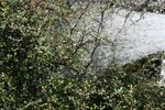Free Picture of Watering a Cotoneaster