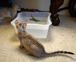 Free Picture of Kittens Playing With a Feather and Water