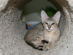 Free Picture of F4 Savannah Kitten in a Tunnel