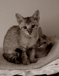 Free Picture of Savannah Kittens - Sepia Toned