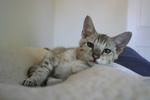 Free Picture of F4 Savannah Kitten Resting