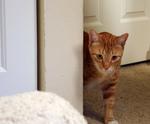 Free Picture of Orange Cat