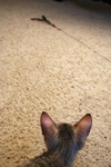 Free Picture of F4 Savannah Kitten Stalking a Toy
