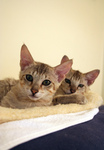 Free Picture of Savannah Kittens on a Heating Pad