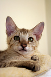 Free Picture of Male Savannah Kitten