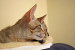 Free Picture of Curious Savannah Kittens