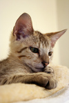 Free Picture of Curious Savannah Kitten