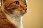 Free Picture of Orange Cat's Face