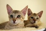 Free Picture of 14 Week Old Savannah Kittens