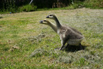 Free Picture of Two African Goslings
