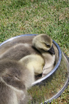 Free Picture of African Goslings (Anser cygnoides)