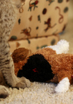 Free Picture of Kitten With a Stuffed Dog Toy