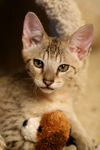 Free Picture of Kitten With a Stuffed Toy