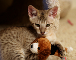 Free Picture of Kitten Playing With a Toy