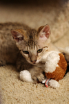 Free Picture of Kitten Playing With a Stuffed Dog Toy