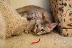Free Picture of Savannah Kitten