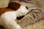 Free Picture of Savanna Kitten With a Stuffed Doggie Toy