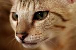 Free Picture of F4 Savannah Kitten Preparing to Attack
