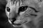 Free Picture of Savannah Kitten Face