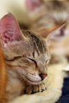 Free Picture of Savannah Kittens Sleeping on a Heating Pad