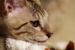 Free Picture of Savannah Cat's Face in Profile