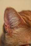 Free Picture of Cat Ear