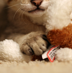 Free Picture of Savannah Kitten and Stuffed Toy