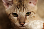 Free Picture of Kitten Face