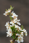 Free Picture of Sprig of White Plum Blossoms