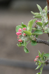 Free Picture of Pink Apple Blossoms