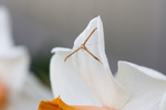 Free Picture of Delicate Moth on a Daffodil Flower
