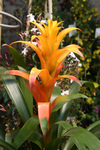 Free Picture of Orange Bromeliad