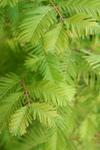 Free Picture of Dawn Redwood Branches