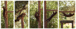Free Picture of Ocelot Climbing Positions