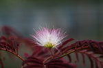 Free Picture of Pink Mimosa Flower