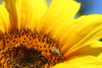 Free Picture of Bee on Sunflower