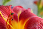 Free Picture of Ladybug on a Chicago Daylily