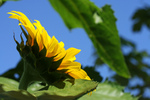 Free Picture of American Giant Sunflower