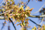 Free Picture of Maple Helicopter Seeds