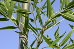 Free Picture of Raywood Ash Leaves