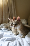 Free Picture of Savannah Kittens Resting