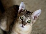 Free Picture of Savannah Kitten Looking Upwards