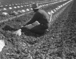 Free Picture of Migrant Worker Thinning and Weeding