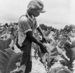 Free Picture of Sharecropper Worming Tobacco