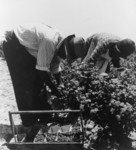 Free Picture of Berry Pickers